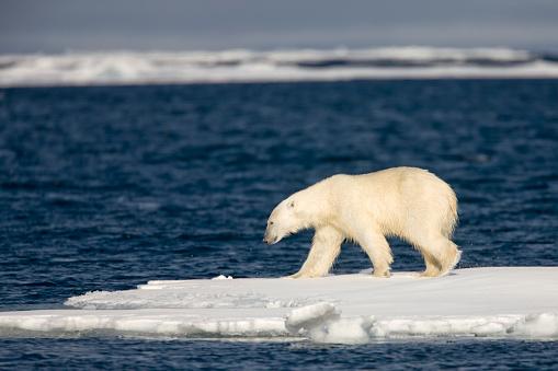Pack Ice「Polar Bear on Melting Pack Ice at Spitsbergen」:スマホ壁紙(16)