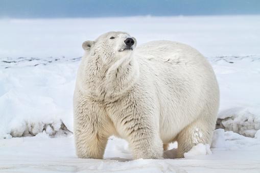 Arctic National Wildlife Refuge「Polar bear」:スマホ壁紙(12)