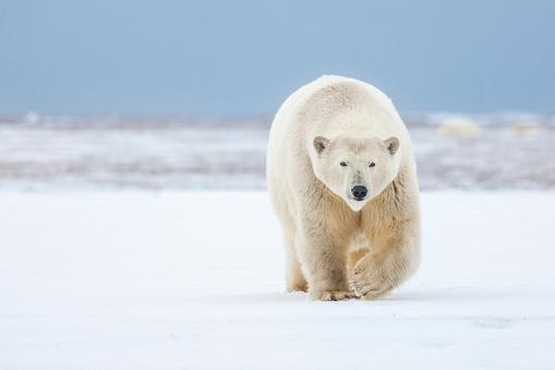 Animals In The Wild「Polar bear」:スマホ壁紙(11)