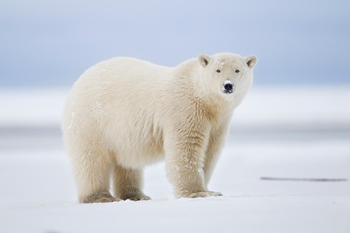Arctic National Wildlife Refuge「Polar bear」:スマホ壁紙(0)