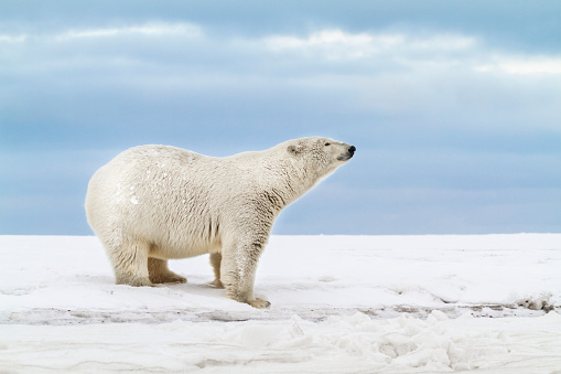 Arctic National Wildlife Refuge「Polar bear」:スマホ壁紙(5)