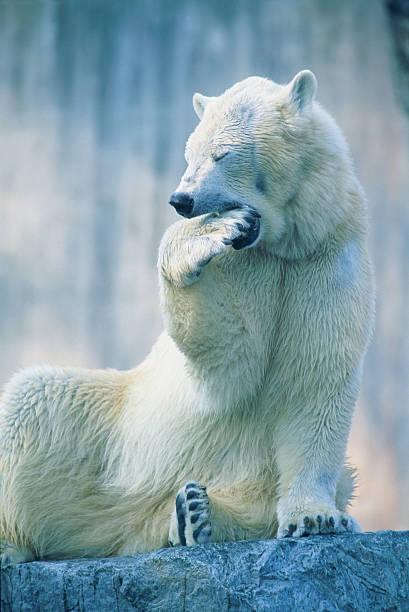 Polar bear yawning in zoo enclosure:スマホ壁紙(壁紙.com)