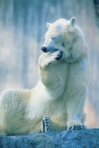 Polar Bear「Polar bear yawning in zoo enclosure」:スマホ壁紙(16)
