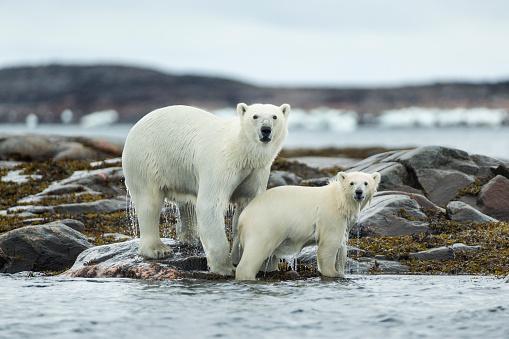Polar Bear「Polar Bear and Cub, Repulse Bay, Nunavut, Canada」:スマホ壁紙(7)