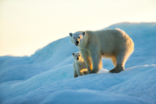 Polar Bear「Polar Bear and Cub, Repulse Bay, Nunavut, Canada」:スマホ壁紙(11)