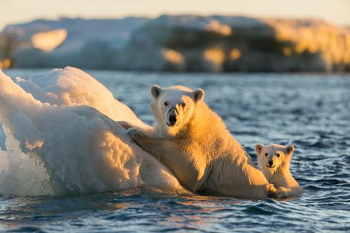 Polar Bear「Polar Bear and Cub, Repulse Bay, Nunavut, Canada」:スマホ壁紙(2)