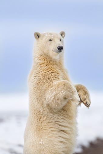 Arctic National Wildlife Refuge「Polar bear standing」:スマホ壁紙(4)