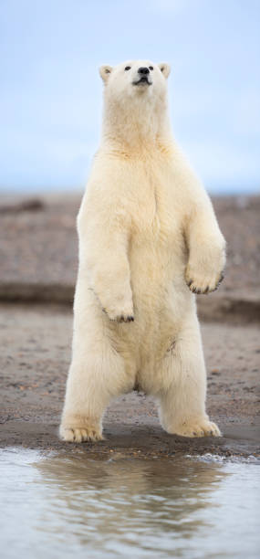 Polar bear standing:スマホ壁紙(壁紙.com)