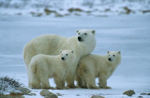 Polar Bear「Polar bear with cubs (Thalarctos maritmus) in snow」:スマホ壁紙(5)