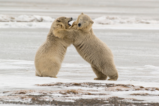 Arctic National Wildlife Refuge「Polar Bear (Ursus Maritimus) cubs fighting near Kaktovic, Barter Island, Alaska」:スマホ壁紙(18)
