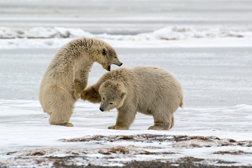 Arctic National Wildlife Refuge「Polar Bear (Ursus Maritimus) cubs fighting near Kaktovic, Barter Island, Alaska」:スマホ壁紙(17)