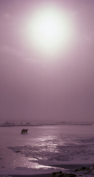 Arctic National Wildlife Refuge「Polar bear (Ursus maritimus) walking across ice during storm」:スマホ壁紙(7)