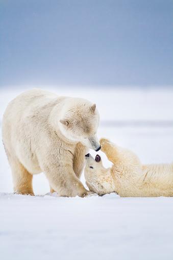 Arctic National Wildlife Refuge「Polar bear sow and cub」:スマホ壁紙(7)