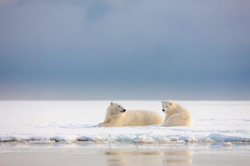 Arctic National Wildlife Refuge「Polar bear sow and cub」:スマホ壁紙(15)