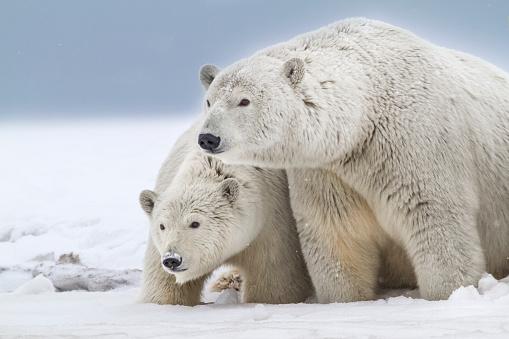 Arctic National Wildlife Refuge「Polar bear sow and cub」:スマホ壁紙(16)