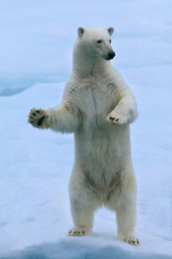 Polar Bear「Polar bear (Ursus maritimus) standing on ice」:スマホ壁紙(18)