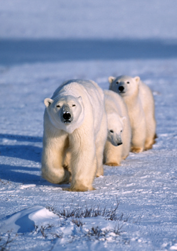 Churchill - Manitoba「Polar bear mother and two cubs.」:スマホ壁紙(6)