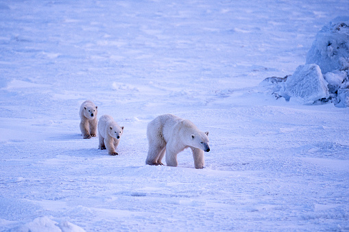 Bear Cub「Polar Bear Mother and Two Cubs on Icy Hudson Bay」:スマホ壁紙(4)