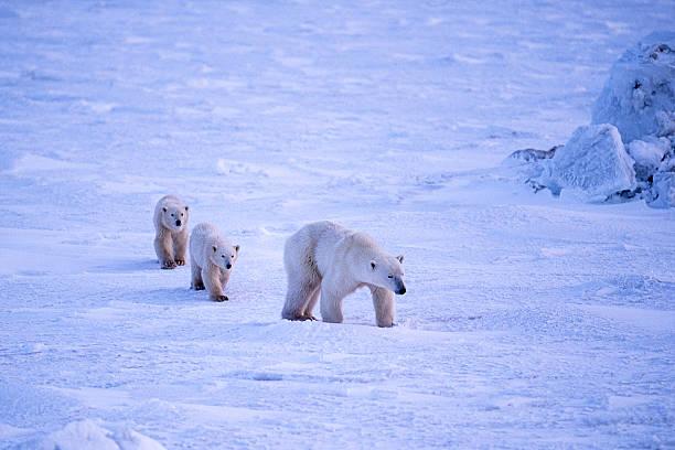 Polar Bear Mother and Two Cubs on Icy Hudson Bay:スマホ壁紙(壁紙.com)
