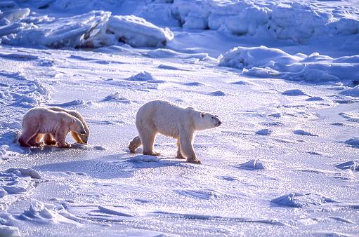 Polar Bear「Polar Bear Mother and Two Cubs on Icy Hudson Bay」:スマホ壁紙(10)