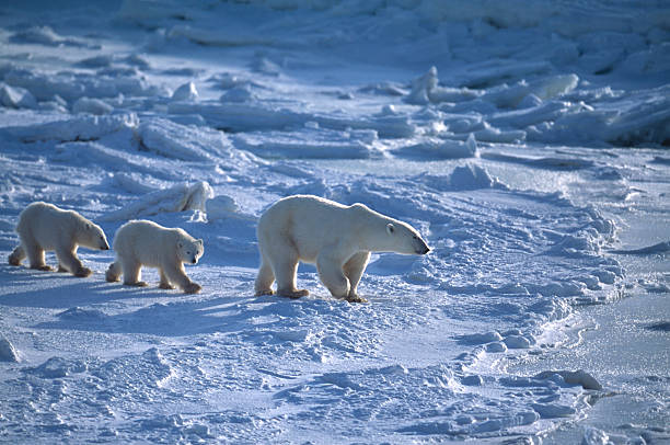 Polar Bear Mother and Two Cubs on Icy Hudson Bay:スマホ壁紙(壁紙.com)