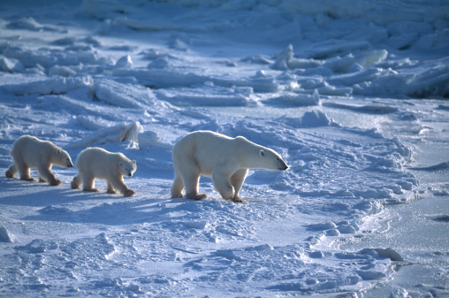 Churchill - Manitoba「Polar Bear Mother and Two Cubs on Icy Hudson Bay」:スマホ壁紙(10)