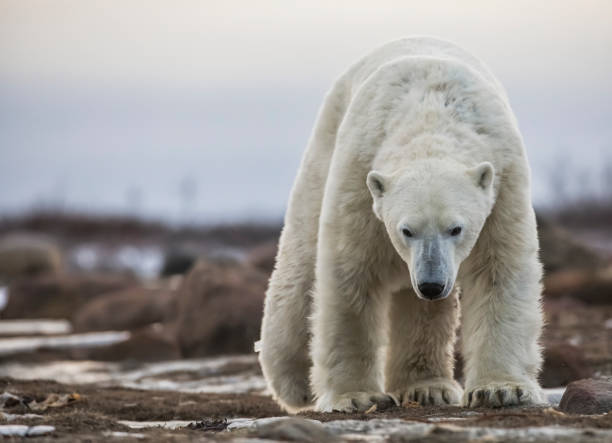 Polar bear on the coast of Hudson Bay waiting for the bay to freeze over, Manitoba, Canada:スマホ壁紙(壁紙.com)