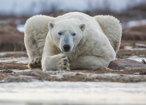 Polar Bear「Polar bear on the coast of Hudson Bay waiting for the bay to freeze over, Manitoba, Canada」:スマホ壁紙(3)