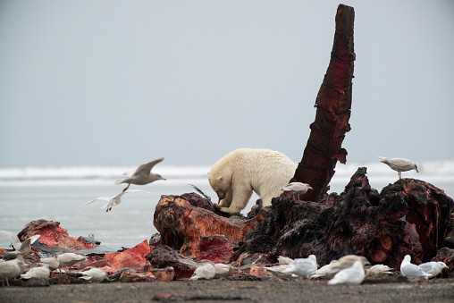 Arctic National Wildlife Refuge「Polar Bear (Ursus Maritimus) and birds feeding on Bowhead Whale carcass near Kaktovic, Barter Island, Alaska 」:スマホ壁紙(16)