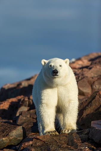 Polar Bear「Polar Bear along Repulse Bay, Nunavut, Canada」:スマホ壁紙(9)