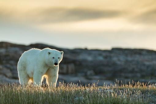 Hudson Bay「Polar Bear along Repulse Bay, Nunavut, Canada」:スマホ壁紙(19)