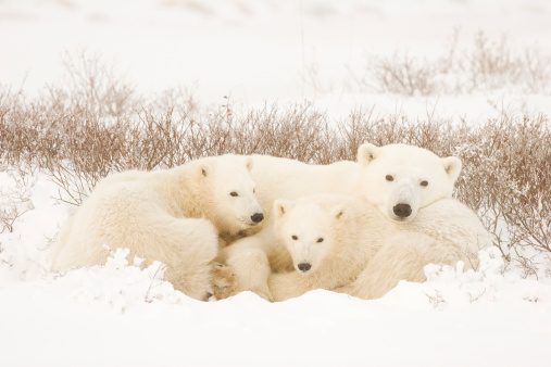 Polar Bear「Polar bear family in a landscape covered in snow」:スマホ壁紙(6)