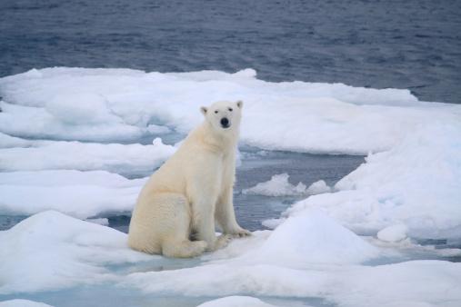 Pack Ice「Polar Bear」:スマホ壁紙(18)