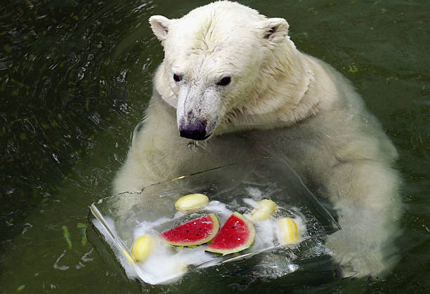 KOR: Captive Polar Bear Cools Off In Summer Heat:ニュース(壁紙.com)