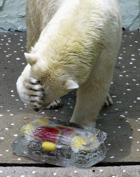 メロン「KOR: Captive Polar Bear Cools Off In Summer Heat」:写真・画像(8)[壁紙.com]