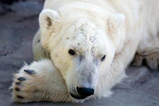 Polar Bear「Polar bear / Eisbär」:スマホ壁紙(6)