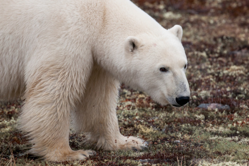 一匹「A Polar Bear (Ursus Maritimus) On The Tundra」:スマホ壁紙(8)