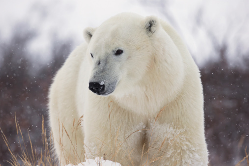 一匹「Polar Bear (Ursus Maritimus) Walking Along Hudson's Bay」:スマホ壁紙(7)