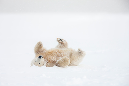 Bear Cub「Polar bear cub rolls in the snow」:スマホ壁紙(3)