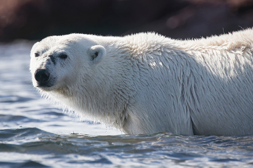 一匹「Polar bear (Ursus maritimus) resting in water, Svalbard, Norway」:スマホ壁紙(18)