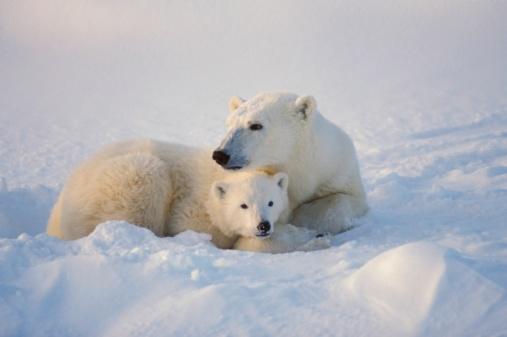 雪が降る「Polar bear sow with cub」:スマホ壁紙(16)