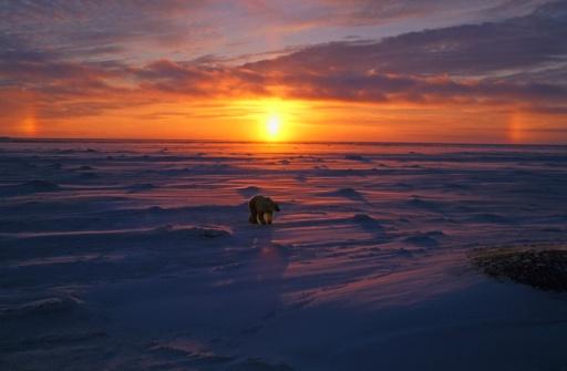 Polar Bear「Polar bear in Arctic sunset」:スマホ壁紙(14)