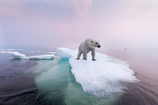 Ice floe「Polar Bear, Hudson Bay, Canada」:スマホ壁紙(1)