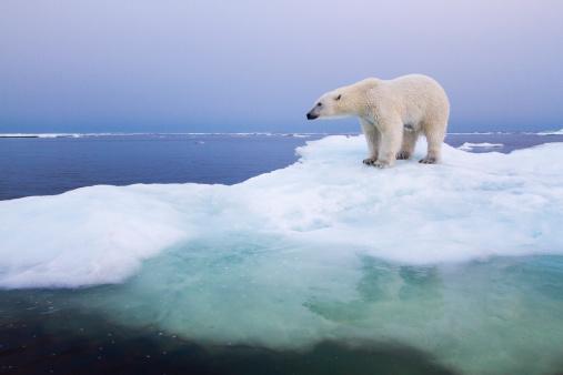 Polar Bear「Polar Bear, Hudson Bay, Canada」:スマホ壁紙(6)