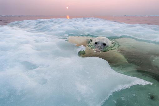 Polar Bear「Polar Bear, Hudson Bay, Canada」:スマホ壁紙(17)