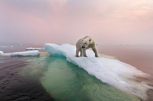 Hudson Bay「Polar Bear, Hudson Bay, Canada」:スマホ壁紙(4)