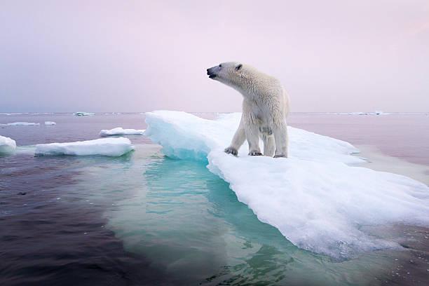 Polar Bear, Hudson Bay, Canada:スマホ壁紙(壁紙.com)