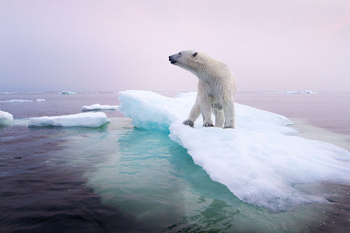 Hudson Bay「Polar Bear, Hudson Bay, Canada」:スマホ壁紙(15)