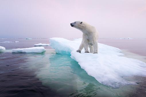 Pack Ice「Polar Bear, Hudson Bay, Canada」:スマホ壁紙(8)