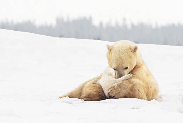 polar bear sow (ursus maritimus) holds her young cub tenderly in her paws at wapusk national park:スマホ壁紙(壁紙.com)
